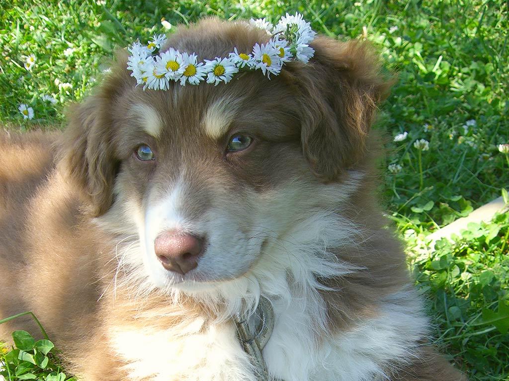 Unsere Tiere, Ferienhof Joas, Hund mit Blumenkranz