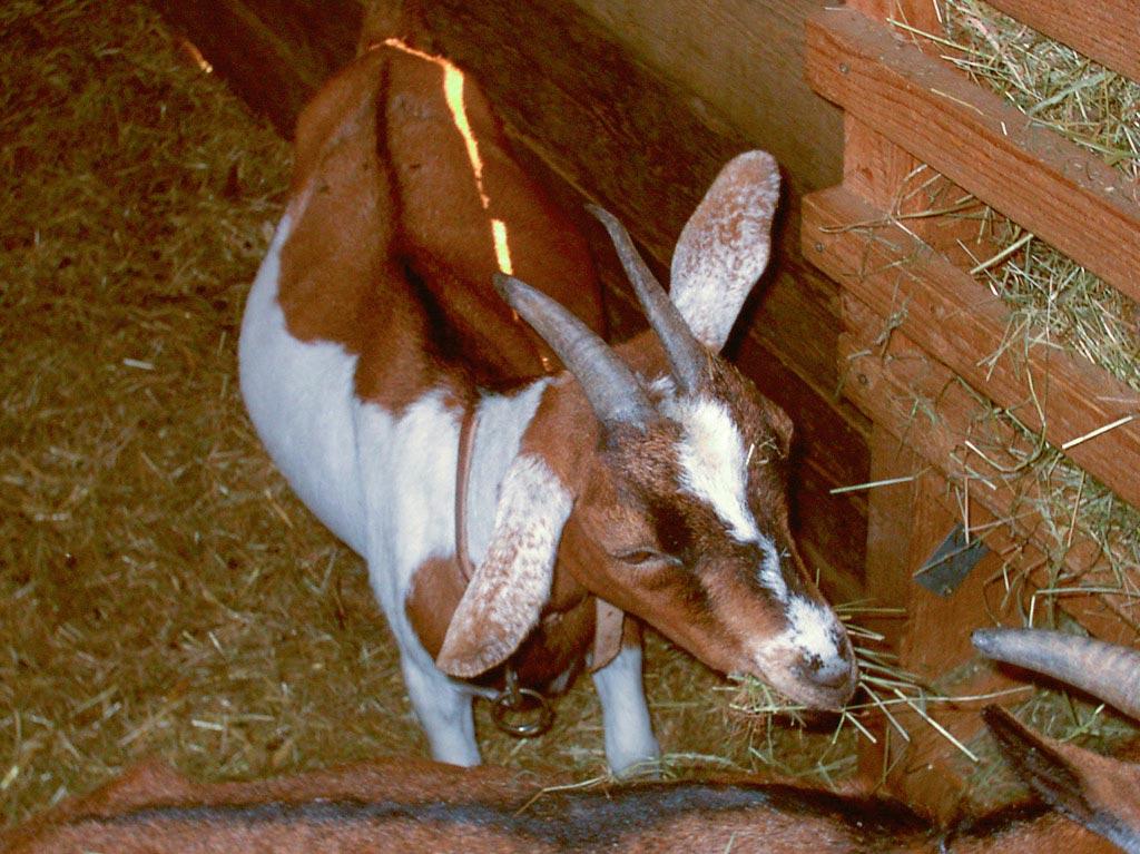 Unsere Tiere, Ferienhof Joas, Ziege beim Fressen