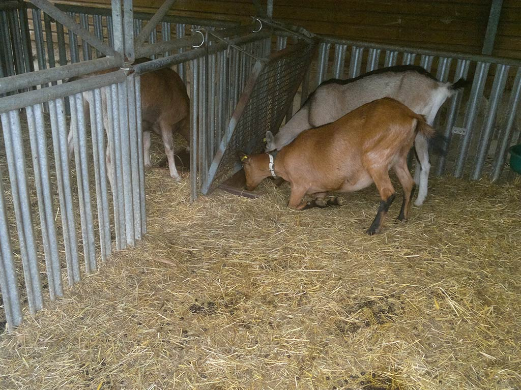 Ferienhof Joas, Ziegen im Stall