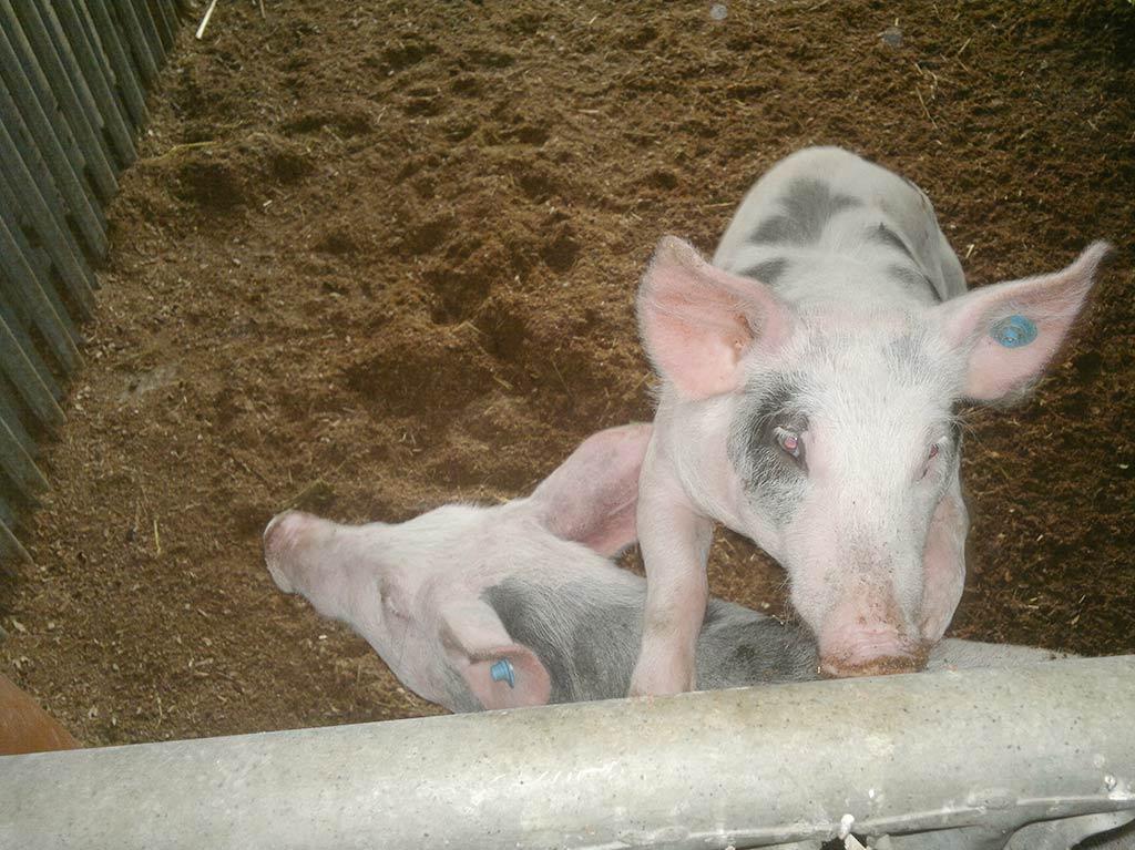 Unsere Tiere, Ferienhof Joas, Schweine
