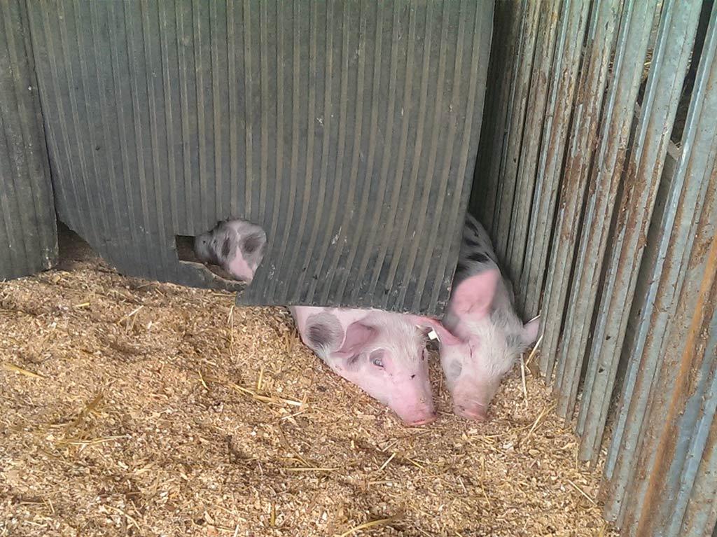 Ferienhof Joas, Schweine im Stall