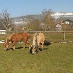 Bauernhof Joas In Gerolfingen, Pferde