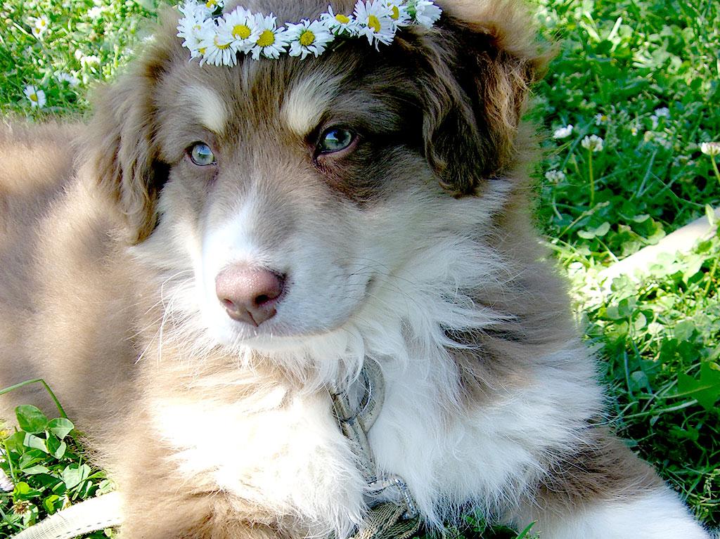 Hund mit Blumenkranz