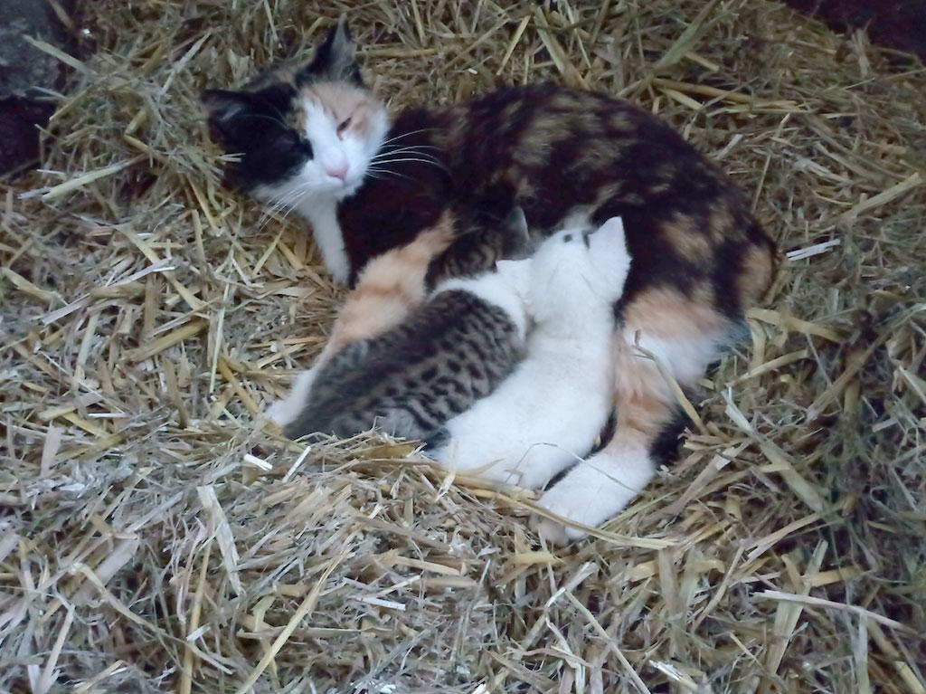 Katze mit kleinen Kätzchen, Ferienhof Joas
